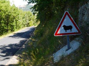 Nel Larzac, vicino a Roquefort, fate attenzione alle pecore!